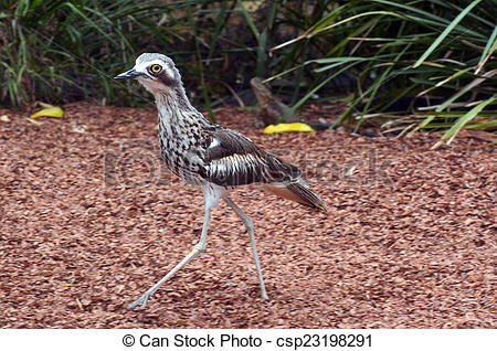 Bush Stone-curlew clipart #10, Download drawings