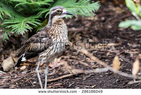 Bush Stone-curlew clipart #2, Download drawings