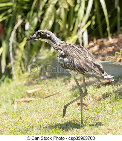 Bush Stone-curlew clipart #3, Download drawings
