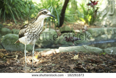 Bush Stone-curlew clipart #8, Download drawings