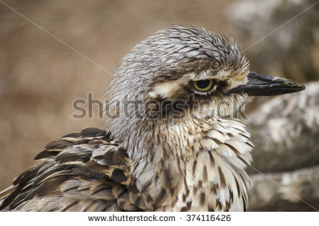 Bush Stone-curlew clipart #1, Download drawings