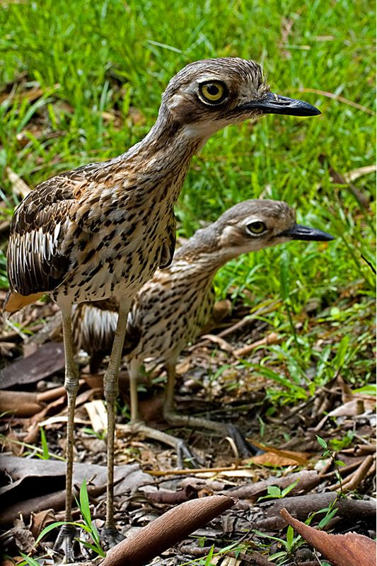 Bush Stone-curlew clipart #4, Download drawings