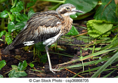 Bush Stone-curlew clipart #19, Download drawings