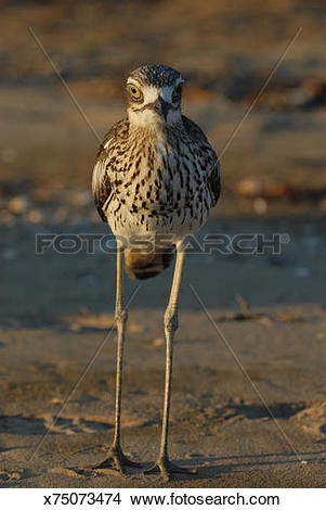 Bush Stone-curlew clipart #20, Download drawings