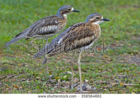 Bush Stone-curlew clipart #18, Download drawings