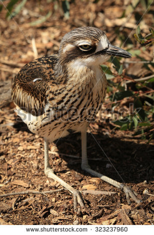 Bush Stone-curlew clipart #9, Download drawings