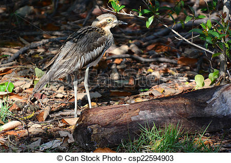 Bush Stone-curlew clipart #17, Download drawings