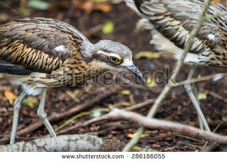 Bush Stone-curlew clipart #12, Download drawings