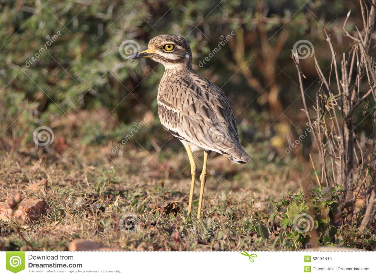 Bush Stone-curlew clipart #16, Download drawings