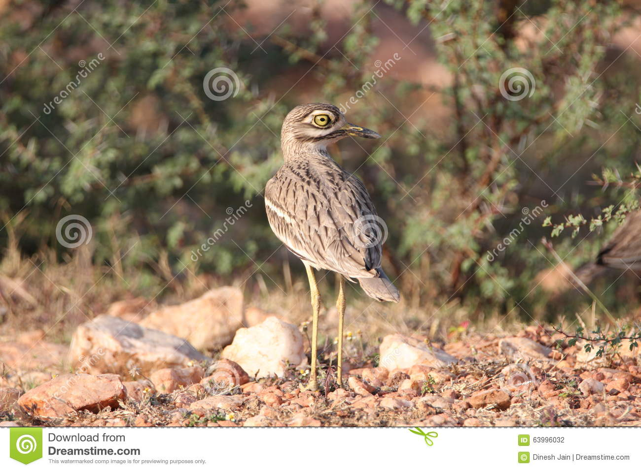 Bush Stone-curlew clipart #13, Download drawings
