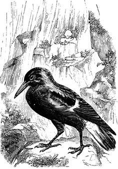 Butcherbird clipart #13, Download drawings