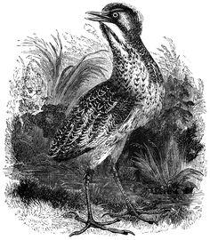 Butcherbird clipart #4, Download drawings