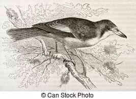 Butcherbird clipart #18, Download drawings