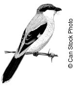 Butcherbird clipart #1, Download drawings