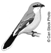 Butcherbird clipart #4, Download drawings