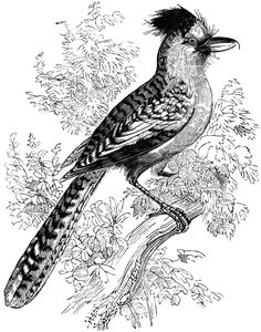 Butcherbird clipart #14, Download drawings