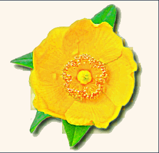 Buttercup clipart #7, Download drawings