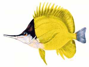 Butterflyfish clipart #8, Download drawings