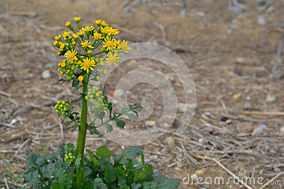 Butterweed clipart #14, Download drawings