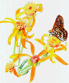 Butterweed clipart #3, Download drawings