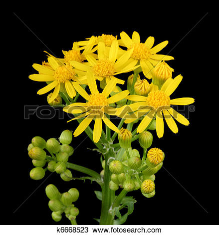 Butterweed clipart #16, Download drawings