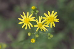 Butterweed clipart #8, Download drawings