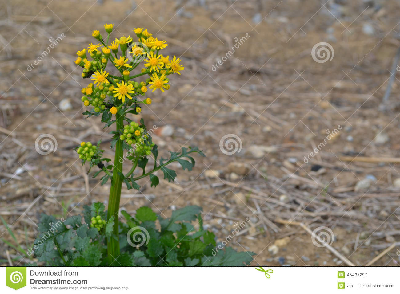 Butterweed clipart #18, Download drawings