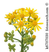 Butterweed clipart #19, Download drawings