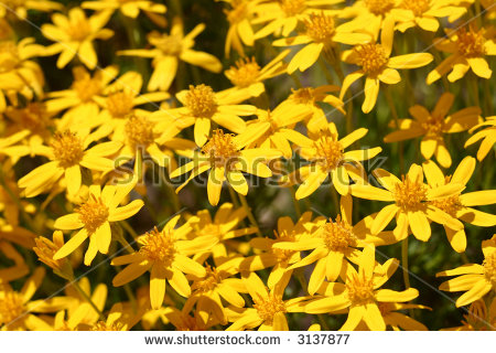 Butterweed clipart #13, Download drawings