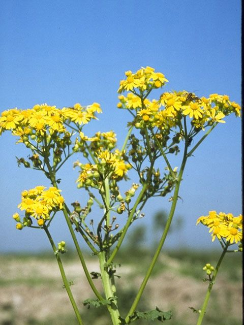 Butterweed clipart #12, Download drawings