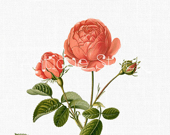 Cabbage Rose clipart #15, Download drawings