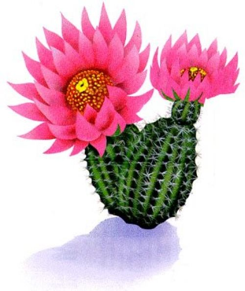 Cactus Blossom clipart #20, Download drawings