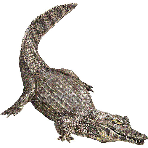 Caiman clipart #18, Download drawings
