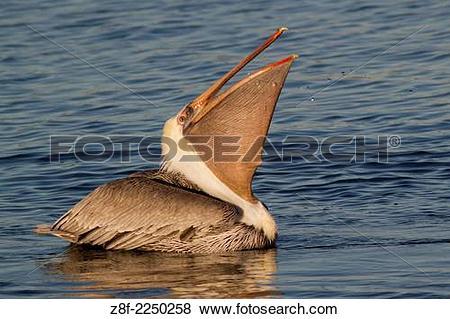 California Brown Pelicans clipart #13, Download drawings