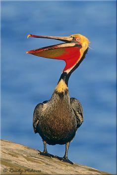 California Brown Pelicans clipart #11, Download drawings