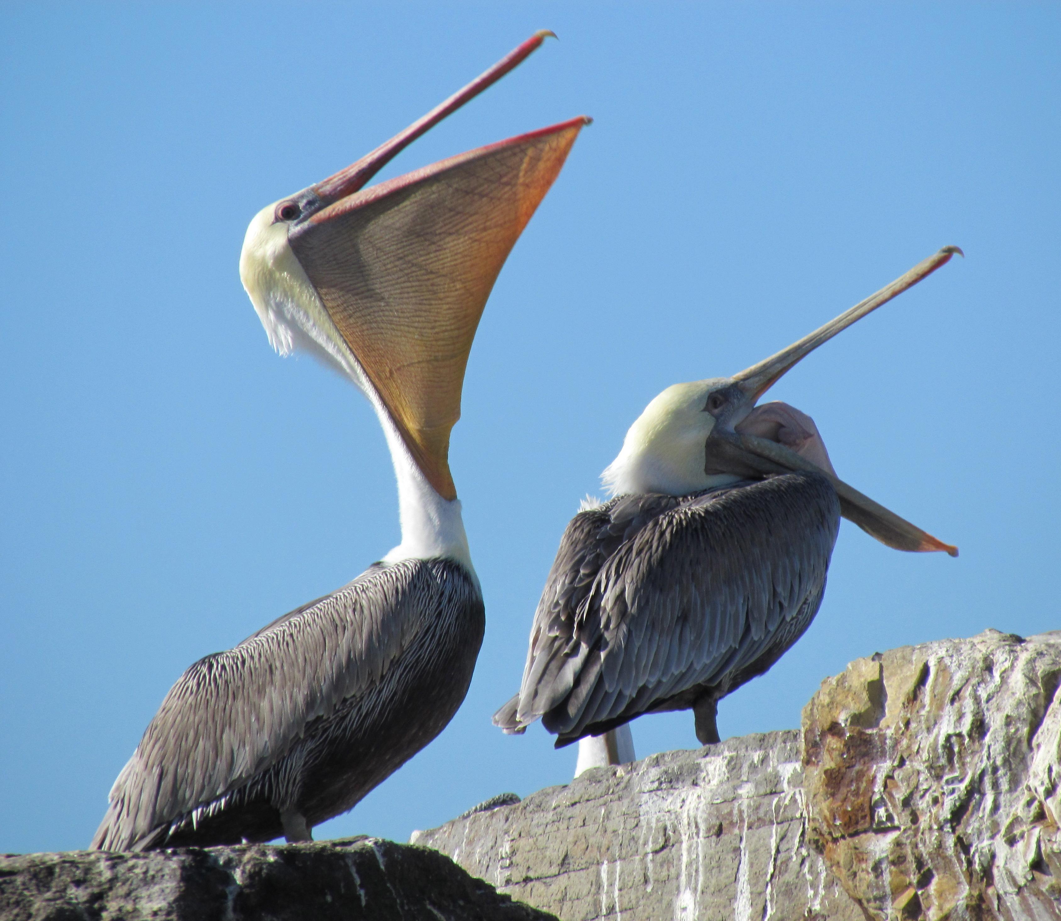 California Brown Pelicans clipart #1, Download drawings