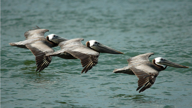 California Brown Pelicans clipart #9, Download drawings