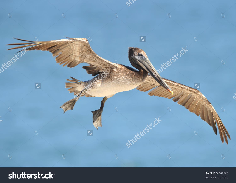 California Brown Pelicans clipart #2, Download drawings