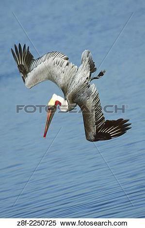 California Brown Pelicans clipart #3, Download drawings