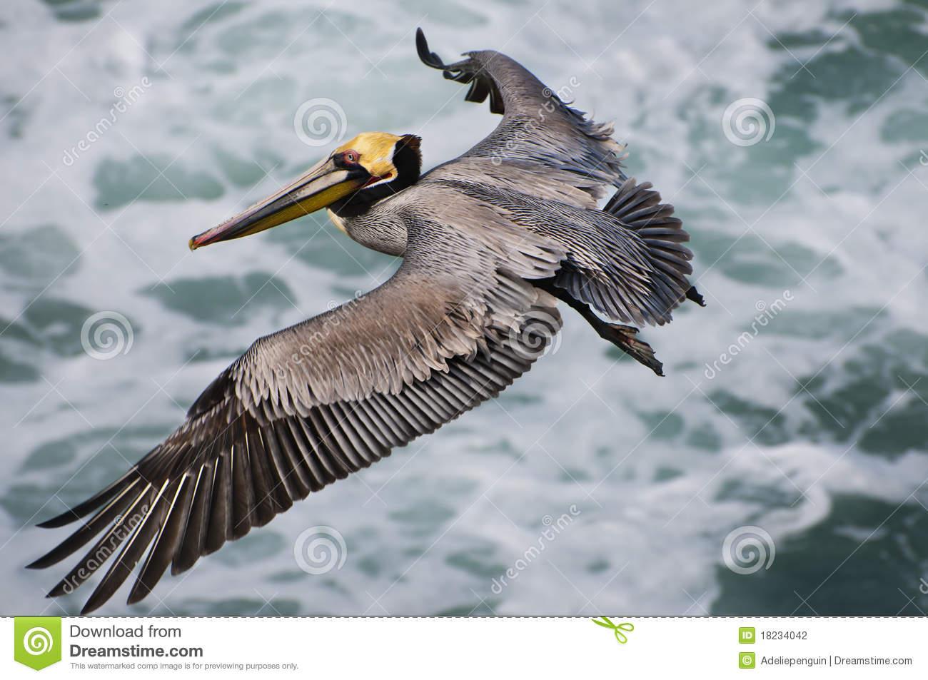 California Brown Pelicans clipart #20, Download drawings