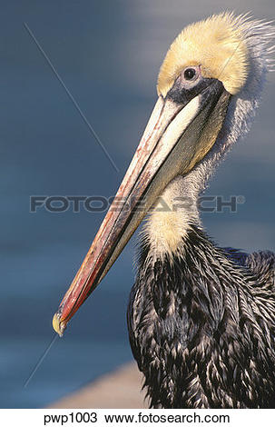 California Brown Pelicans clipart #4, Download drawings