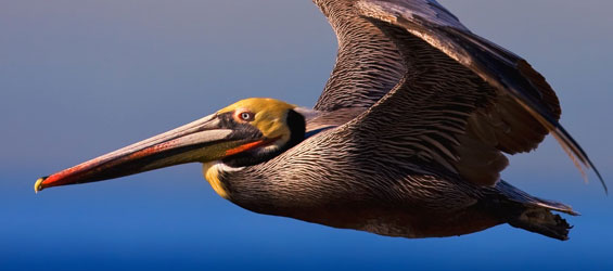 California Brown Pelicans clipart #10, Download drawings