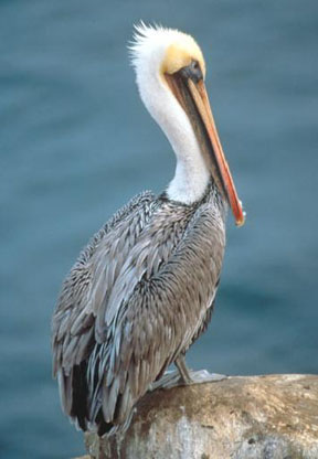 California Brown Pelicans clipart #7, Download drawings
