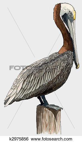 California Brown Pelicans clipart #8, Download drawings