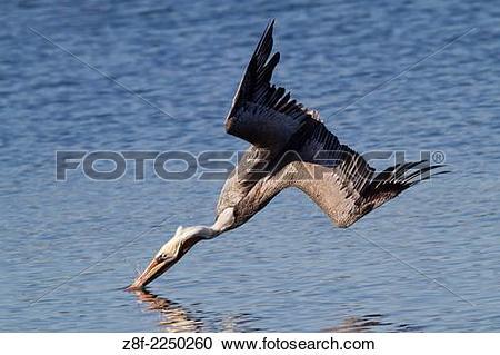 California Brown Pelicans clipart #6, Download drawings