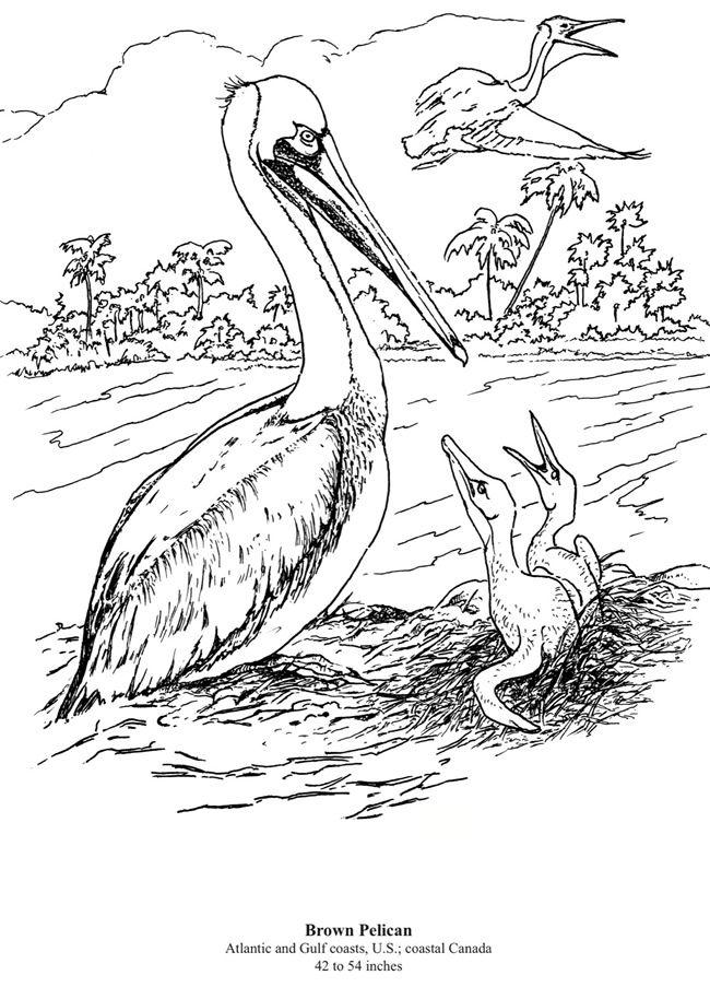 California Brown Pelicans Coloring Download California