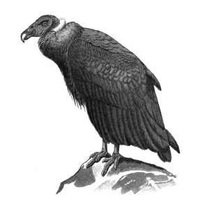 California Condor  clipart #9, Download drawings