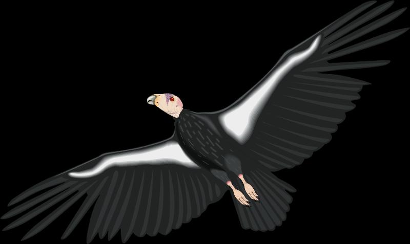 California Condor  svg #19, Download drawings