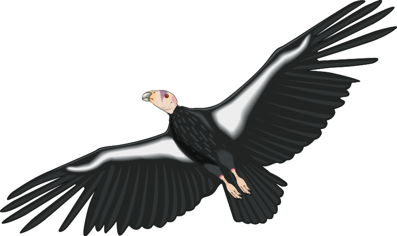 California Condor clipart, Download California Condor ...