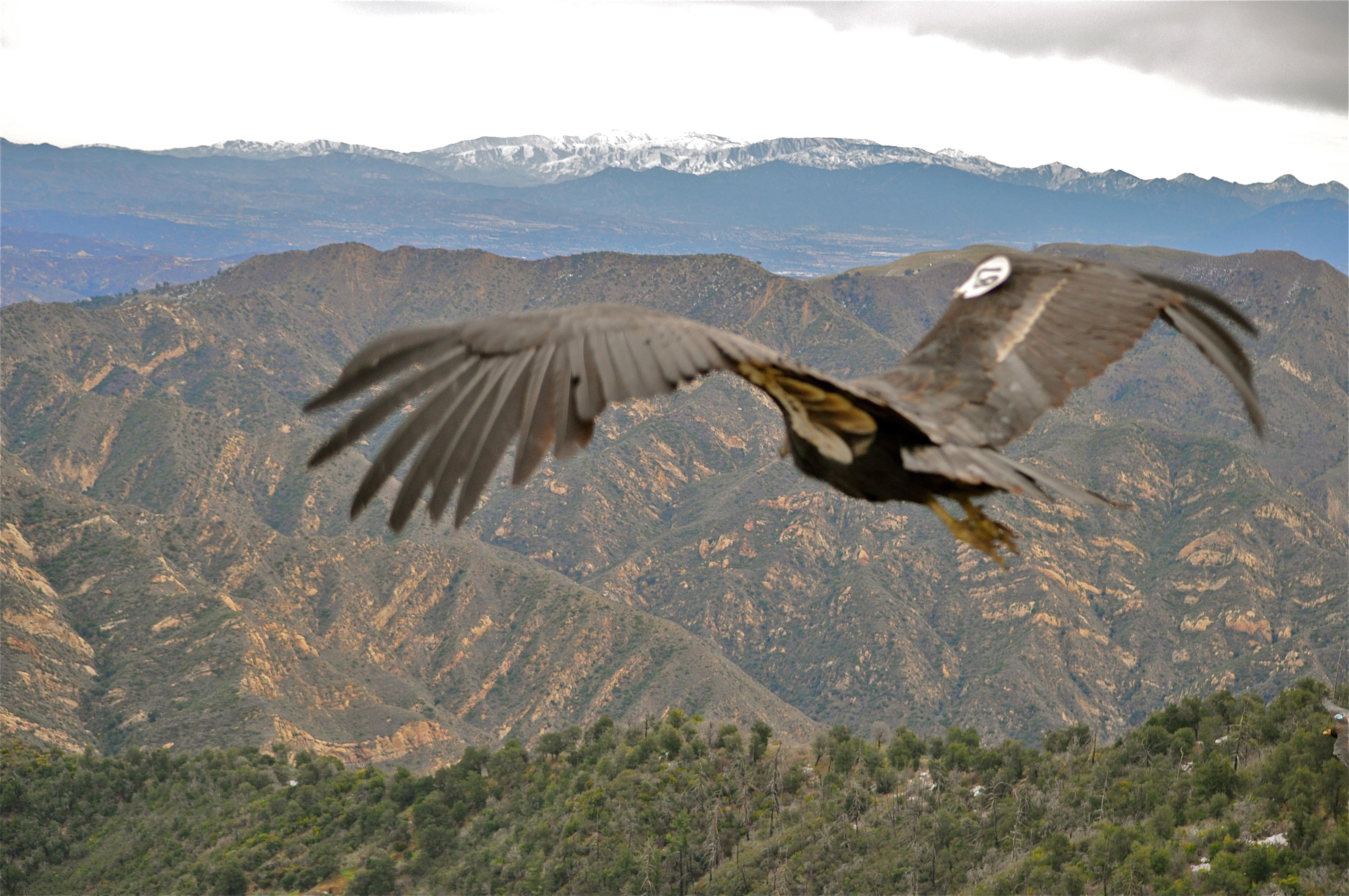 California Condor  svg #1, Download drawings